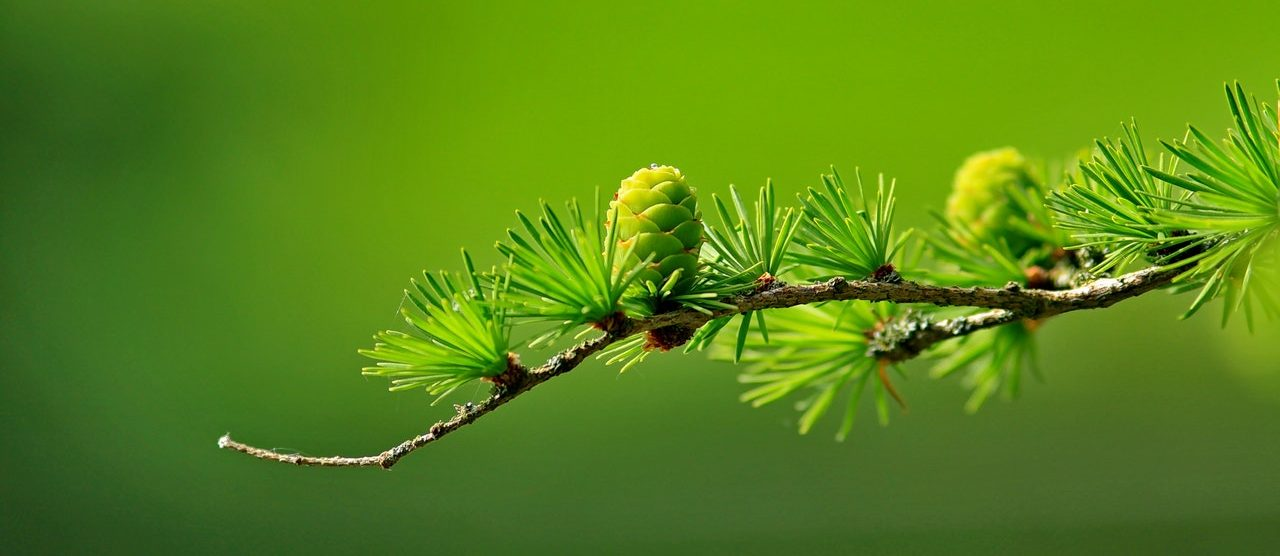 conifer branch against green background